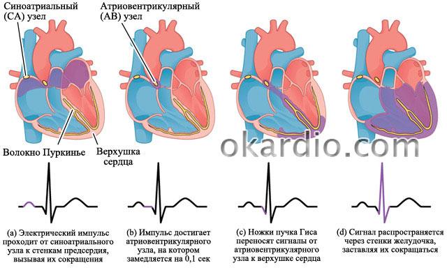 биение сердца на электрокардиограмме