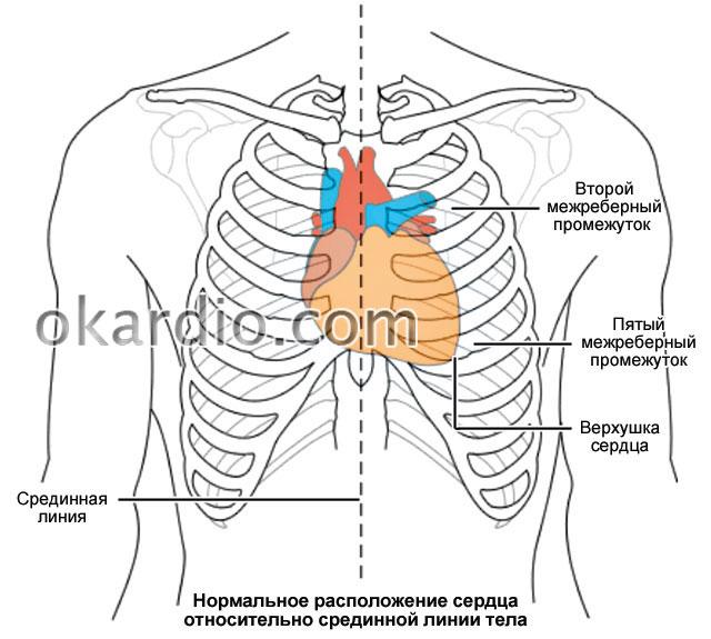 расположение сердца относительно срединной линии тела