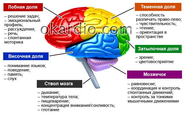 функциональные участки головного мозга