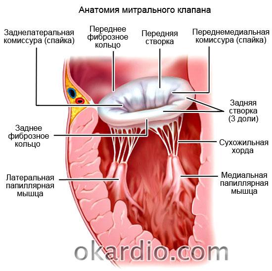 анатомия митрального клапана