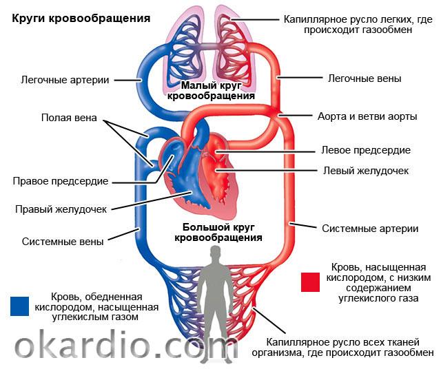 Большой круги кровообращения схема