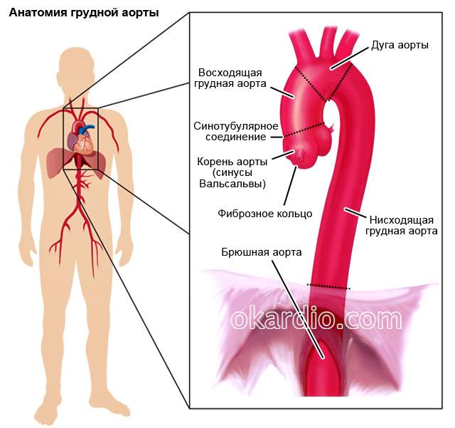 анатомия грудной аорты