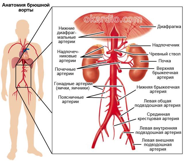 анатомия брюшной аорты у человека