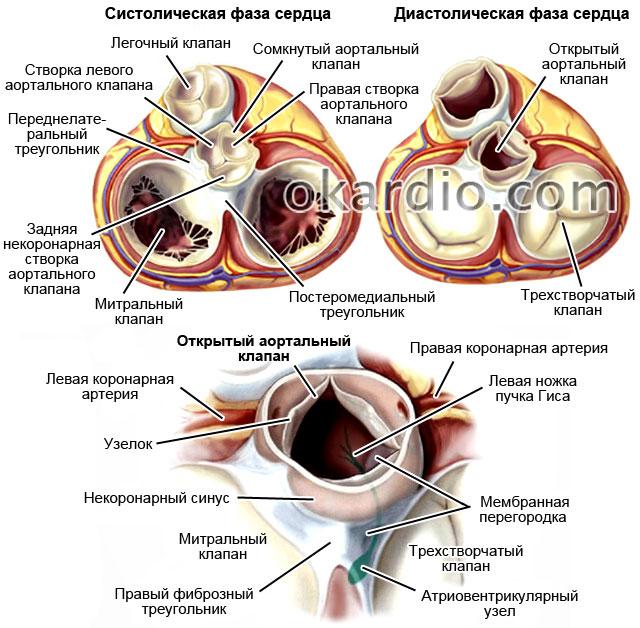 анатомия аортального клапана