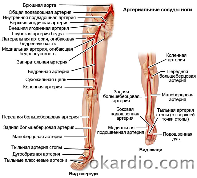артериальные сосуды ноги