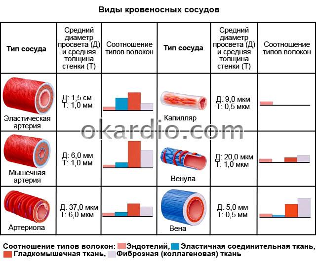 виды кровеносных сосудов