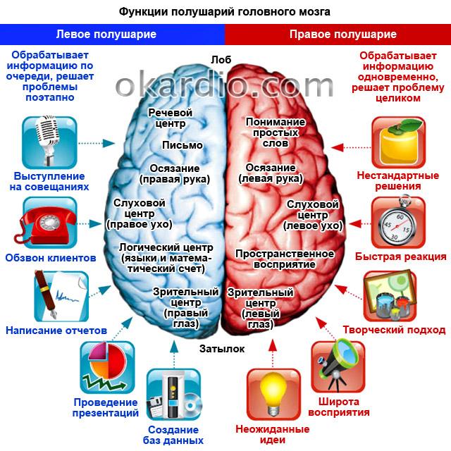 функции полушарий головного мозга