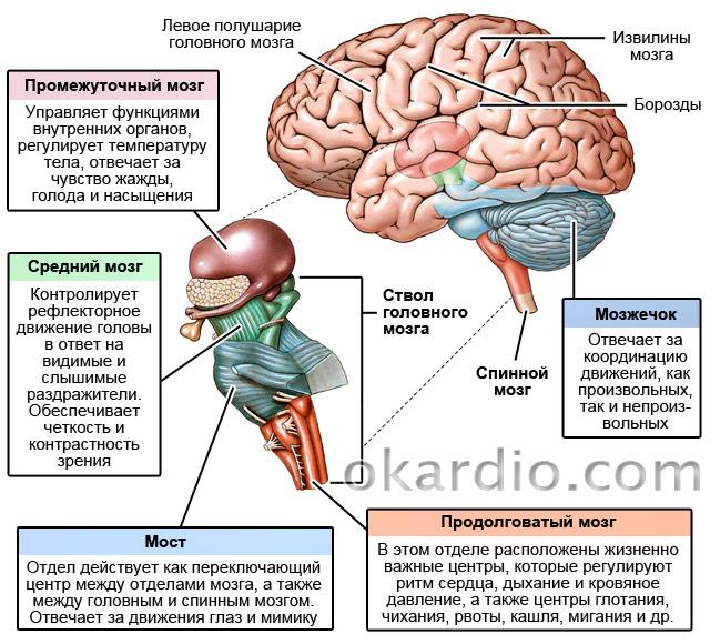 функции ствола головного мозга