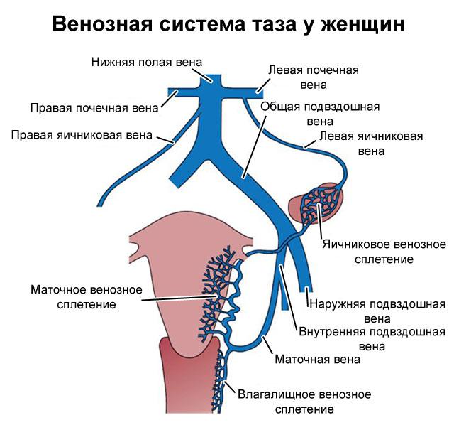 венозная система малого таза у женщин