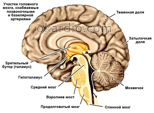 участки головного мозга, снабжаемые позвоночными и базилярной артериями
