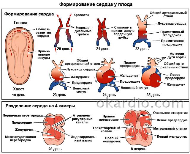 формирование сердца у плода