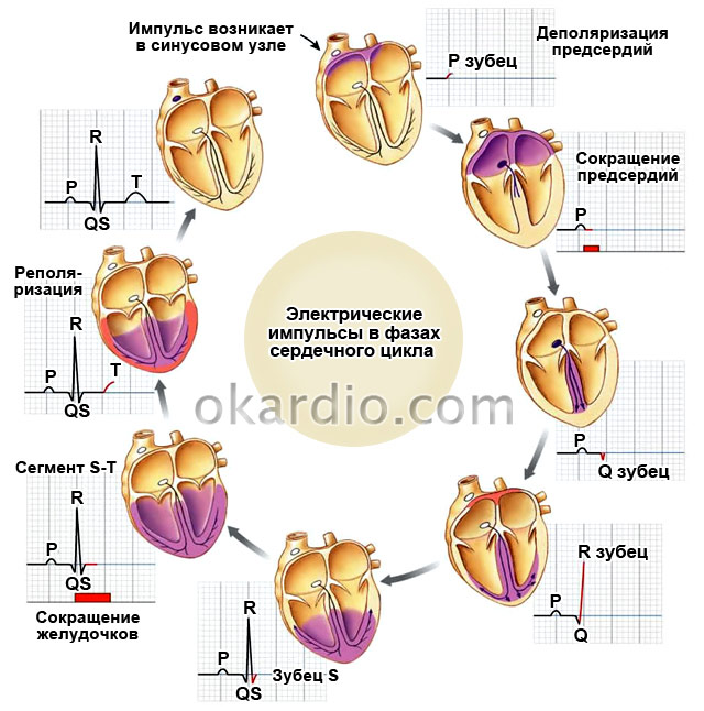 электрические импульсы в фазах сердечного цикла