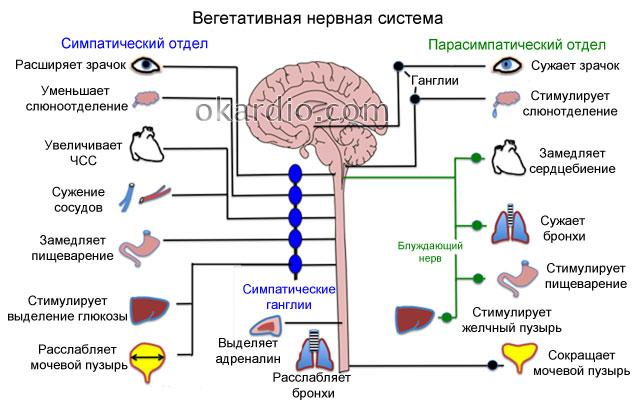 строение вегетативной нервной системы и ее взаимосвязь с органами человека