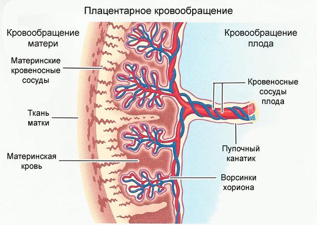 схема плацентарного кровообращения