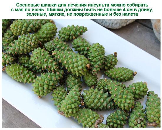 сбор зеленых сосновых шишек