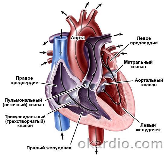расположение клапанов сердца