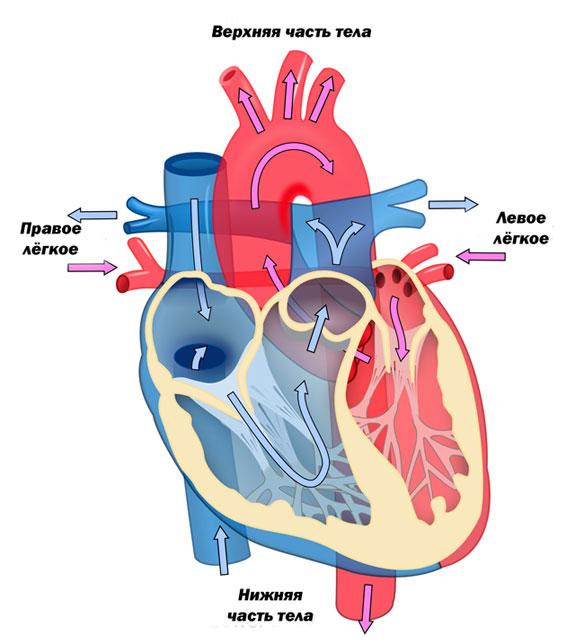схема кровотока в сердце