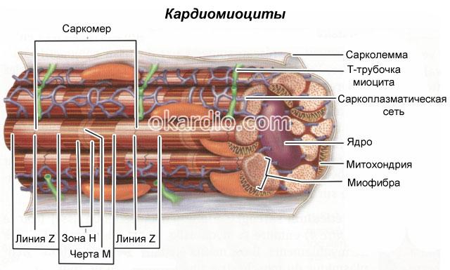 строение кардиомиоцитов