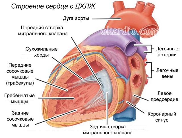 Дополнительная хорда в сердце митрального клапана