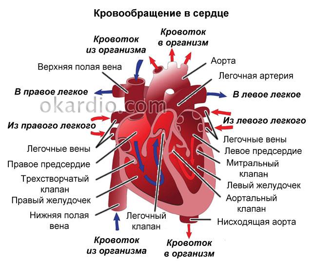 направление кровообращения в сердце