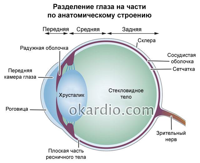 условное разделение глаза на части по анатомическому строению