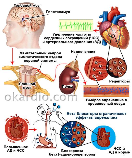 механизм действия бета-блокаторов на сердце