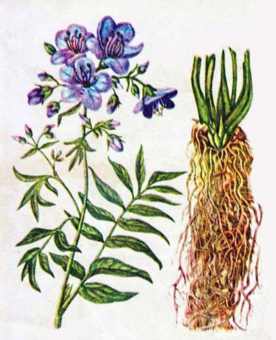 лекарственное растение синюха голубая