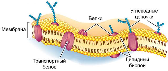 строение клеточной мебраны