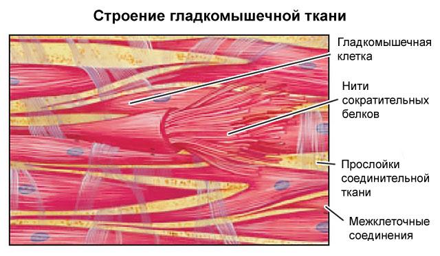 строение гладкой мышечной ткани