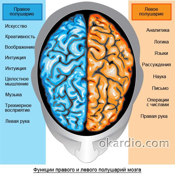 зоны ответственности правого и левого полушарий мозга