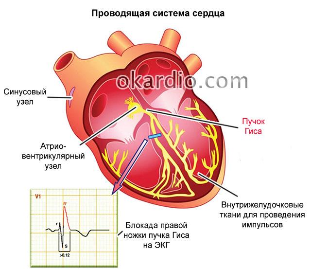 проводящая система сердца с пучком Гиса