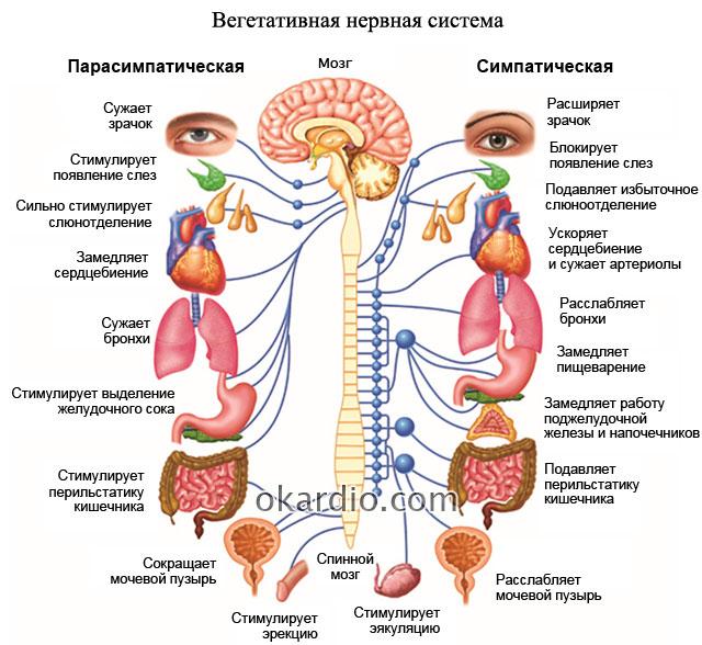 парасимпатическая и симпатическая вегетативная нервная система