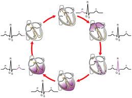 схема сердечного цикла – процессы от начала одного сердечного сокращения до начала следующего сокращения