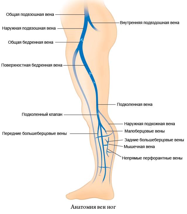 анатомия вен ног
