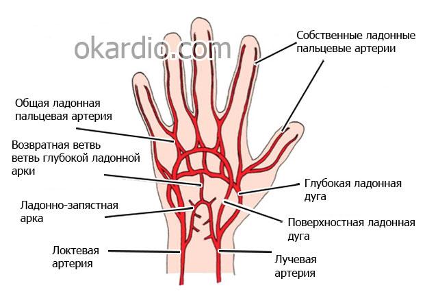 артериальная сосудистая сетка кисти