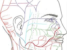 венозная система головы и шеи