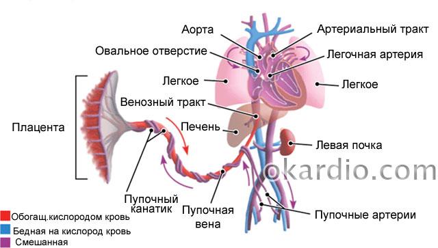 кровообращение плода