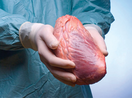 настоящее сердце в руках врача