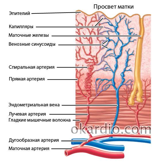 эндометриальные артерии