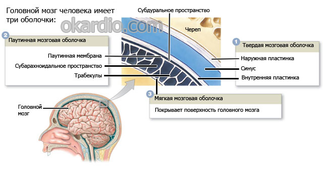 оболочки мозга