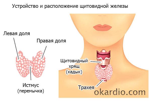 устройство и расположение щитовидной железы