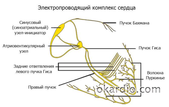 схема электропроводящего комплекса сердца