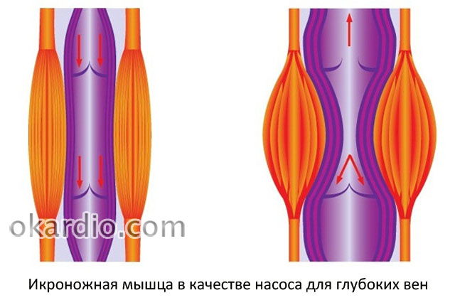 мышечная помпа