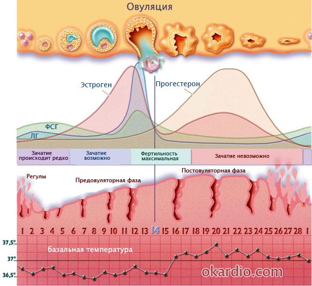 физиология нормального менструального цикла