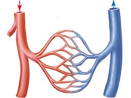циркуляция крови в сосудах человека