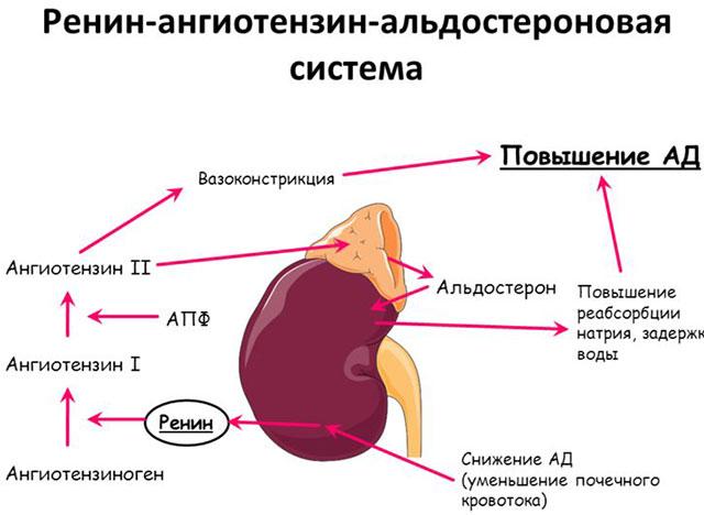 схема ренин-ангиотензиновой системы