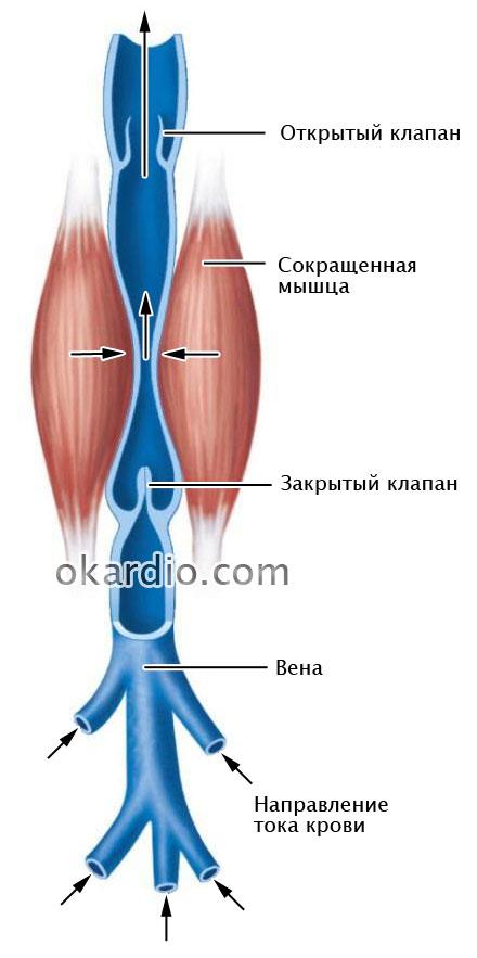 механизм обратного кровотока в норме