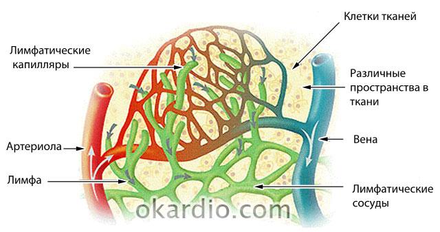 лимфатические сосуды в тканях