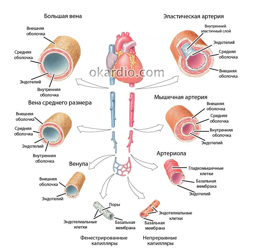 Спазм сосудов: причины, симптомы, как снять, прогноз для жизни