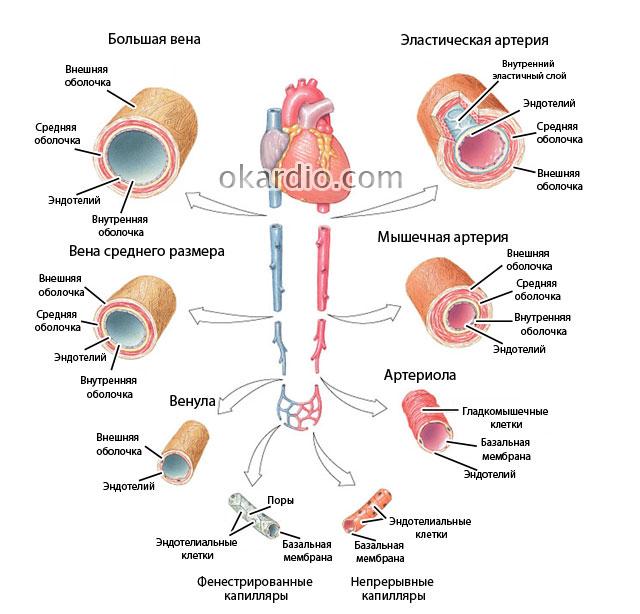 строение различных типов вен и артерий